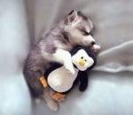 Хъски с пингвинче
