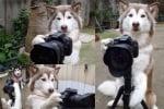 Хъски снима фотоапарат