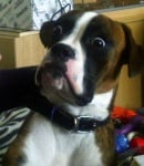Изненадано куче