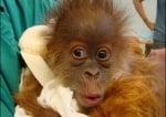 Изненадано шимпанзе