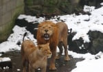 Изплашени лъвове в зоопарк