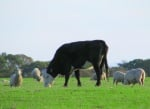 Извратен апетит при говеда и овце