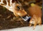 Жираф облизва катеричка