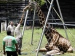 Жираф в зоопарк Индонезия