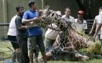 Жирафът в индонезийски зоопарк
