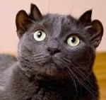 Йода - котка с 4 уши