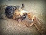Кафява котка с игуана
