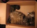 Кафява котка в кашон