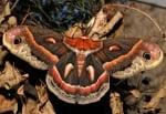 Кафяво-червена пеперуда