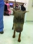 Кафяво куче със затекла муцуна след ухапване на оса или пчела