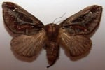 Кафяво-златиста пеперуда