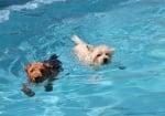 Как да научим кучето да плува?