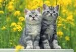Как да социализираме котето