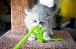Как да спрем силното хапане и драскане по време на толкова важните игри за котето?
