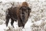 Как се топлят бизоните