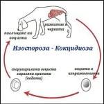 Как се заразява с Кокцидиоза