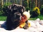 Кане корсо куче с бебе