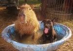 Капибара и куче, живеещи като приятели