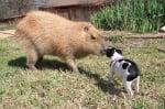 Капибарата Гари си играе с куче