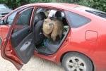 Капибарата Гари в колата