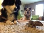 Катеричка под опеката на кучета
