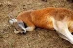 Кенгуру спи