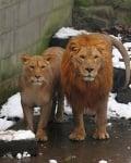 Китайски зоопарк лъвове