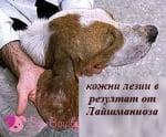 Кожни лезии при Лайшманиоза куче