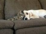 Кокер с коте
