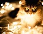 Коледна котка