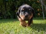 Колко често се извежда малко куче