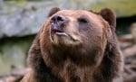 Колко силно е обонянието на мечката?