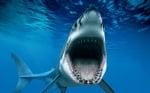 Колко хиляди зъба има бялата акула?
