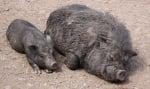 Колко ражда дивата свиня