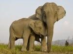 Колко ражда Индийския слон