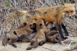 Колко ражда лисицата