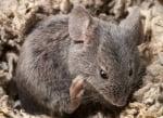 Колко ражда сивата мишка