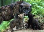 Колко ражда вълка