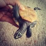 Костенурка със сърчице