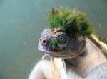 Костенурка със зелен мъх на главата