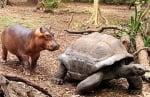 Костенурката Емзи и хипопотама Оуен