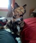 Костенуркова окраска на котка