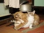 Коте и рисче си играят заедно