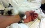 Котка прегръща ръката на човек