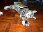 Коте в кутия от бисквити