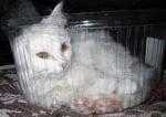 Коте в кутия от торта