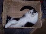 Коте в плетена кошница
