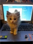 Котенце на лаптопа