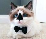 Котенце с папийонка