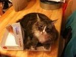 Котка лежи в кутия за храна